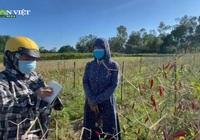 Nghệ An: Hàng chục héc-ta vừng, ớt chết rũ, nông dân mất trắng hàng trăm triệu đồng