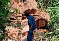 Gia Lai: Nhóm lâm tặc đưa cưa lốc vào rừng đốn hạ hơn 28m3 gỗ