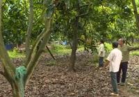 Đồng Tháp: Nông dân rủ nhau ngưng vụ, xây dựng chất lượng cho trái xoài Cao Lãnh