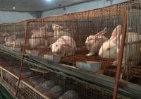 Nông dân Đan Phượng thành triệu phú nhờ nuôi thỏ xuất bán cho doanh nghiệp Nhật Bản