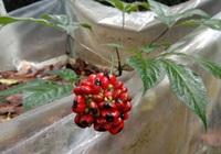 Mùa thu hoạch Sâm Ngọc Linh giống: Hạt nhỏ bé tí nhưng làm ông chủ mát dạ, cười tít mắt