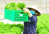 """Rẽ tay ngang làm nông nghiệp công nghệ cao, anh nông dân Dũng """"cao"""" xuất khẩu hàng trăm tấn rau xà lách đi Hàn Quốc"""