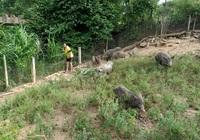Nông dân Hiệp Đức nuôi heo, trồng rừng đổi đời nhờ vốn tín dụng chính sách tiếp sức