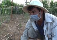 """Thương lái bỏ bê, nông dân Ninh Thuận nghĩ ra """"chiêu"""" mới để duy trì sản xuất măng tây xanh"""