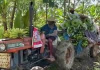 Nghệ An: Bế tắc đầu ra, chuối xuất khẩu phải đổ bỏ, ủ làm phân vi sinh