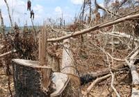 """Đắk Nông: Rừng tự nhiên """"trong trắng, ngoài xanh"""", nhiều doanh nghiệp bị đề nghị thu hồi dự án"""