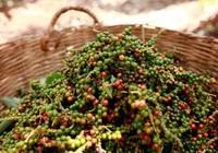 Giá nông sản hôm nay (30/7): Giá tiêu nối dài đà giảm, cà phê cao nhất 37.800 đồng/kg