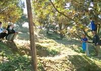 Khánh Hòa: Tuyệt chiêu hái sầu riêng cực nhanh của thanh niên huyện miền núi Khánh Sơn