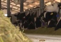 Trồng ngô sinh khối: Lời giải hay cho bài toán khó về thức ăn chăn nuôi