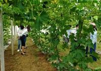 Quảng Ngãi: Nông dân mạnh dạn trồng rau an toàn để mở hướng làm giàu