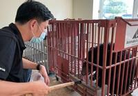 Một cá thể gấu ngựa được Công an Điện Biên giải cứu từ dân buôn lậu