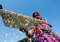 Ấn Độ xuất khẩu gạo nhiều hơn 3 nước cộng lại, giá leo đỉnh gần 2 tháng