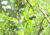 """Loại quả tròn tròn """"dày vỏ, vàng lòng"""" được chứng nhận VietGap, gắn tem truy suất nguồn gốc, nông dân vui mừng phấn khởi"""
