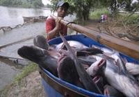 Ngành cá tra đang đuối sức, tồn đọng, xuất khẩu sụt giảm: Chuyên gia hiến kế giải pháp