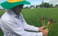 Canh tác lúa thông minh 2021 tại ĐBSCL: Giải pháp hiệu quả trên vùng đất nhiễm mặn