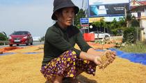 Quảng Bình: Người dân vùng lũ khóc ròng trước hàng nghìn tấn thóc giống đóng thành bánh, vón cục nảy mầm