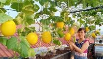 Mê tít vườn dưa lưới của mẹ đảm ở Hà Nội, chỉ 30m2 sân thượng mà mỗi năm thu 3 tạ dưa