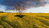 """Cây trồng biến đổi gen được """"bật đèn xanh"""" ở Nam Úc"""