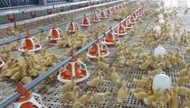 Nâng cao vị thế ngành gia cầm Việt Nam, hướng tới xuất khẩu
