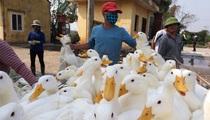 Giá gia cầm hôm nay 23/5: Vịt thịt chững giá, gà công nghiệp đắt hàng