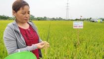 TBR 97 (GL 97) là giống lúa gì mà nông dân Thường Tín thích mê?