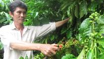 """Nhiều vườn cà phê """"xoá trắng"""", Đồng Nai rà soát đầu tư cà phê đặc sản"""