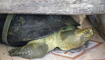 'Cụ rùa' sống dưới tượng phật Quan Âm, ăn chay trong chùa ở miền Tây