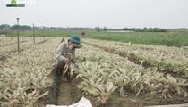 Dùng thuốc trừ sâu Trung Quốc trôi nổi: Nông dân Mê Linh mất trắng vụ rau