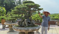 Chiêm ngưỡng sanh cổ dáng phượng giá chục tỷ của ông vua cây cảnh Việt Nam