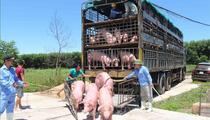 Giá heo hơi hôm nay 30/6: Nhập khẩu lợn sống, cơ hội cho lợn nội phát triển?