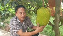"""Thái Bình: """"Bắt"""" 500 cây mít ra quả sòn sòn, một nông dân thu gần nửa tỷ/năm"""