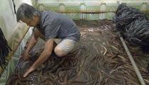 Vùng đất dân nuôi lươn không bùn trong bể, mở ra thấy toàn con to bự