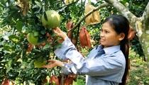 """Từ 15 triệu đi vay, hộ nghèo xứ Lạng nuôi bò trồng cây ăn quả, """"đẻ"""" ra trăm triệu"""