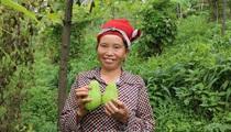 Leo đồi cao thu quả đặc sản Sa Pa màu xanh to bằng nắm đấm vị ngọt thanh, thịt chắc, xào thơm lừng