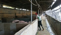 """Nhanh tay """"mắc màn"""" cho lợn, chủ trang trại tự tin đẩy lùi dịch tả lợn châu Phi"""
