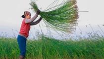 Nông dân Thanh Hóa ra đồng từ tờ mờ 3 giờ sáng để thu hoạch cói