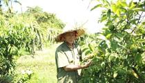 """Nghệ An: """"Lão gàn"""" biến đất sỏi đá thành vườn cây ăn quả, thu hàng trăm triệu mỗi năm"""