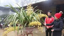Lai Châu: Một xã trồng 400.000 chậu địa lan quý hiếm, Tết này chỉ bán 500 chậu, giá 1 chậu địa lan bao nhiêu triệu?