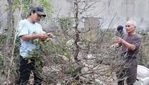Phú Yên: Tết nhất đến nơi rồi, dân các làng trồng mai Tết lo sốt vó, thương lái cứ bình chân như vại