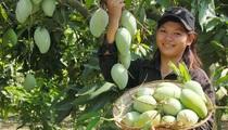 Trung Quốc mở cửa cho xoài Campuchia, xoài Việt Nam có bị ảnh hưởng?