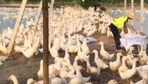 Giá gia cầm hôm nay 11/5: Giá vịt thịt giảm từng ngày,  người nuôi gánh thêm nỗi lo mới