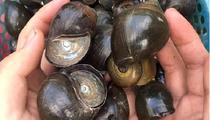 """Sóc Trăng: Nuôi loài ốc đặc sản """"ăn bẩn ở sạch"""", chăm dễ như ăn kẹo mà """"một vốn bốn lời"""""""