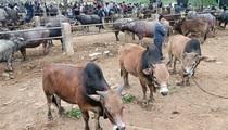 Cao Bằng: Cái chợ độc đáo ở vùng cao Hà Quảng-trâu, bò gầy, béo, lớn, bé mang đến đều bán được hết