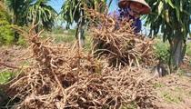 """Nam Định: """"Nhân sâm người nghèo"""" rớt giá chưa từng có, bán 1 kg không mua nổi cốc trà đá"""