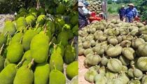 """Giá mít Thái hôm nay 23/6: Mít Thái trồng xen sầu riêng có """"ngon ăn"""", khoảng cách cây bao nhiêu là vừa?"""