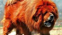Trung thành như chó ngao Tây Tạng, tại sao vẫn cắn chủ?