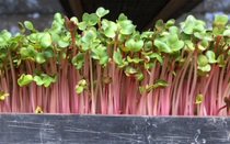 Trồng rau mầm thế nào để phát triển tốt?