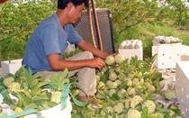 Bón phân NPK Lâm Thao, na ngọt ngon và tăng sản lượng