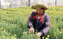 Lo ngại đầu ra, nông dân Bà Rịa - Vũng Tàu giảm diện tích hoa Tết