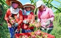 Trung Quốc tăng tốc trồng thanh long, Việt Nam thêm áp lực cạnh tranh